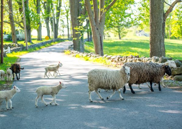 sheep in road